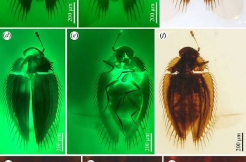 缅甸琥珀揭示甲虫的形态演化停滞和生物地理