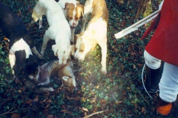 英国议员将会就狩猎法案修正案进行表决 猎犬遭残杀或将合法化