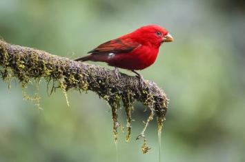 血雀是什么鸟