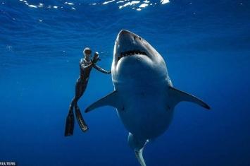 """海洋怪物级大白鲨""""深蓝""""在美国夏威夷海岸被潜水员拍到"""