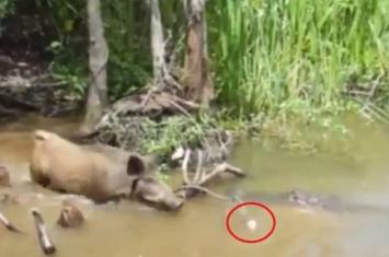 美国新奥尔良冷血游客引野猪下河成鳄鱼大餐