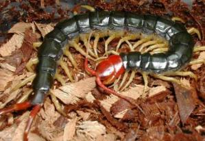世界上最大的蜈蚣,加拉帕格斯巨人蜈蚣身长超过30厘米