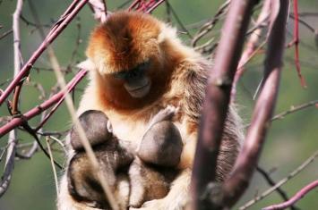 异母哺育:川金丝猴会哺育其它母猴的婴儿