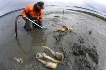 中国人爱吃象拔蚌 吸尽美国西岸9成产量