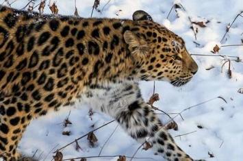 """远东豹给俄罗斯滨海边疆区""""豹之乡""""国家公园出难题:三年拍不到全貌"""