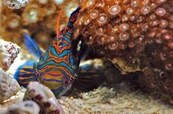 泰国哒叻府国家海洋公园成功繁育弥足珍贵的变色连鳍(Mandarin Fish)