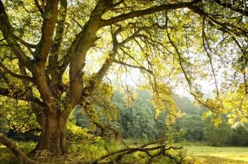 橡树是什么树