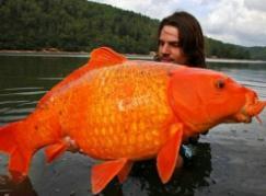 世界上最大的金鱼,法国南部湖泊惊现27斤巨型金鱼(鱼缸放不下)