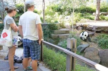 澳洲阿德莱德动物园向中国租借的大熊猫深受欢迎 望延长租借期