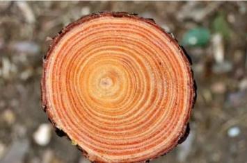 树的年轮之谜