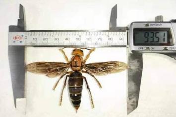 云南省普洱市与缅甸交界地区发现世界上最大的虎头蜂 可能是中国独有新亚种