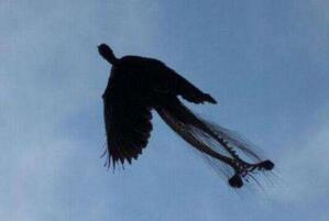 黑龙江惊现远古凤凰,远古神兽之黑凤凰竟真实存在