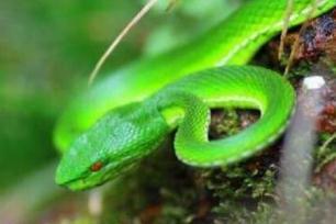 世界上年龄最大的蛇,绿茸线蛇寿命可达20万岁(未证实)