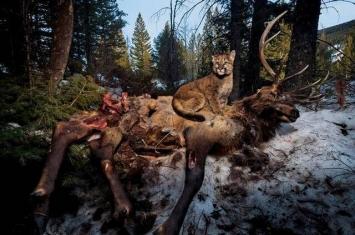 美洲狮扑倒的巨大麋鹿看似是一条生命的终点 但其实是其他数百个物种的开始