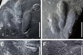 """韩国发现小恐龙""""Minisauripus""""足印化石 脚底皮肤纹理保存完好"""
