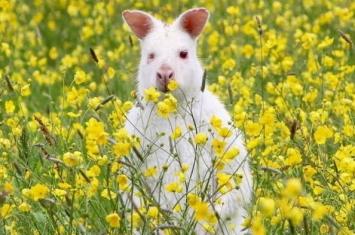 英国北罕普夏郡乡间发现白化袋鼠