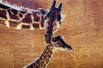 美国纽约动物园在YouTube直播长颈鹿产子 30万网民见证临盆一刻