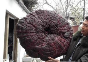 世界上最大的灵芝,直径为1米/如同巨型大伞