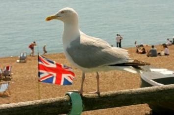 英国凶猛海鸥有组织性的抢夺食物