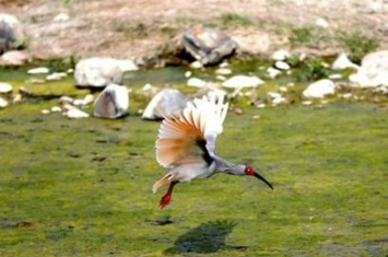 """中国提供的朱鹮""""关关""""在日本新泻县佐渡朱鹮保护中心成功产下鸟蛋"""