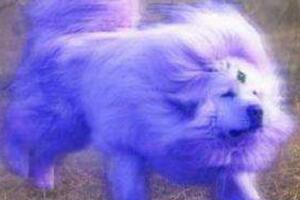 海蓝兽真的存在吗,海蓝兽多少钱一只(无价神犬/图片)