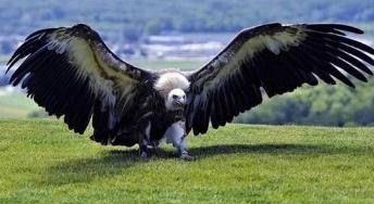 地球上最大的鹰类,阿根廷巨鸟如同一架小型战斗机