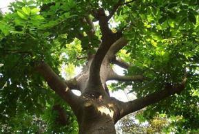 世界上最危险的树,箭毒木一滴毒液可致人死亡(毒性剧烈)