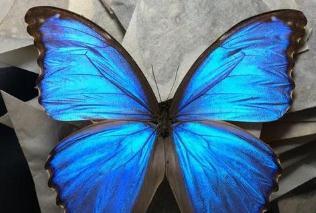 世界上最美丽的蝴蝶照片,光明女神蝶最为靓丽(无可替代)