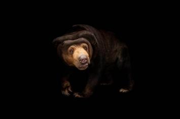 研究发现马来熊会模仿玩伴表情 像人类一样