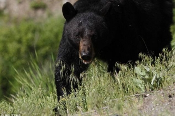 美国加州优胜美地国家公园附近67岁男子击退黑熊攻击