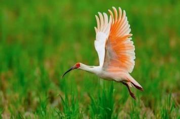 朱鹮是什么鸟