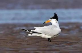 世界上最珍稀的鸟类,中华凤头燕鸥仅有百只左右(神话之鸟)