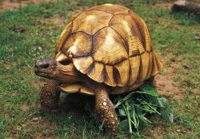 世界最名贵的乌龟,安哥洛卡象龟价值上百万(珍稀)