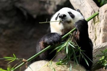 """在美国圣迭戈动物园生活23年的雌性大熊猫""""白云""""将回中国养老"""