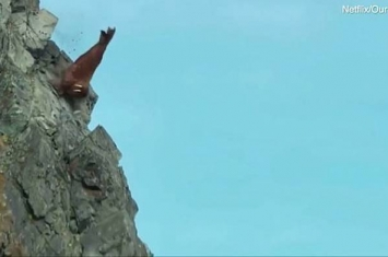 Netflix纪录片《我们的星球》令人心痛一幕:数百只海象从陡峭的悬崖上跌落死亡
