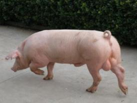世界上最贵的猪,达明赫斯特的猪价值6500万人民币(可看不可吃)