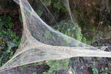 美国德州公园发现一张超巨大的蜘蛛网 估计上千只以上蜘蛛织成