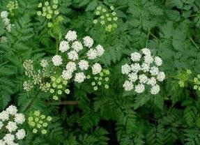 世界上最毒的花是哪种,水毒芹全株都有毒(误食易丧命)