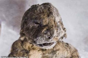 """刚出生就冻死 俄罗斯西伯利亚永久冻土层发现冰冻3万年小狮子干尸""""斯巴达克"""""""