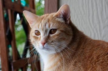 日本上智大学心理学家证实猫确实知道自己的名字 但反应为何还是无法跟狗比拟?