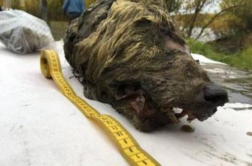 俄罗斯科学家将尝试培育出4万年前灭绝的狼物种