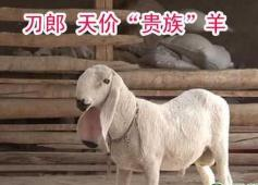 世界上最贵的羊,刀郎羊售价1400万人民币(羊中的劳斯莱斯)