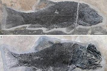 罗平生物群2.44亿年前罗平强壮鱼为全骨鱼类早期演化研究取得突破性进展