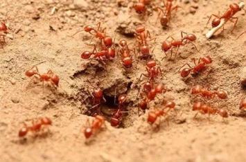 红火蚁是什么