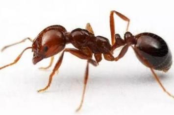 红火蚁的危害是什么