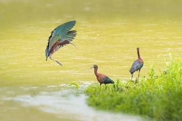 一度绝迹!摄影爱好者在陕西汉江濂水河畔湿地公园拍到3只罕见彩鹮