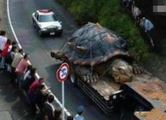 长江巨鳖事件惊现千年老鳖,镇压长江中的魑魅鬼怪