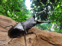 世界上最大的锹甲虫,长颈鹿锯锹全长12.3厘米(打破世界纪录)