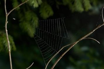 新研究发现三角织蛛透过蜘蛛网把自己弹出去抓猎物 加速度超过火箭20倍