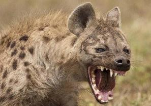 世界上最无耻的动物,专抢其他动物捕获猎物/喜欢掏肛咬屁屁